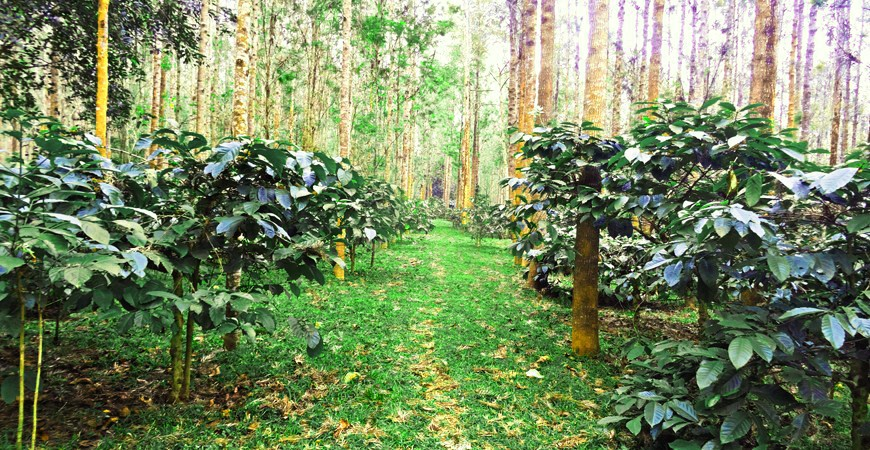 Plantation Walk : Coffee, Spice and All Things Nice